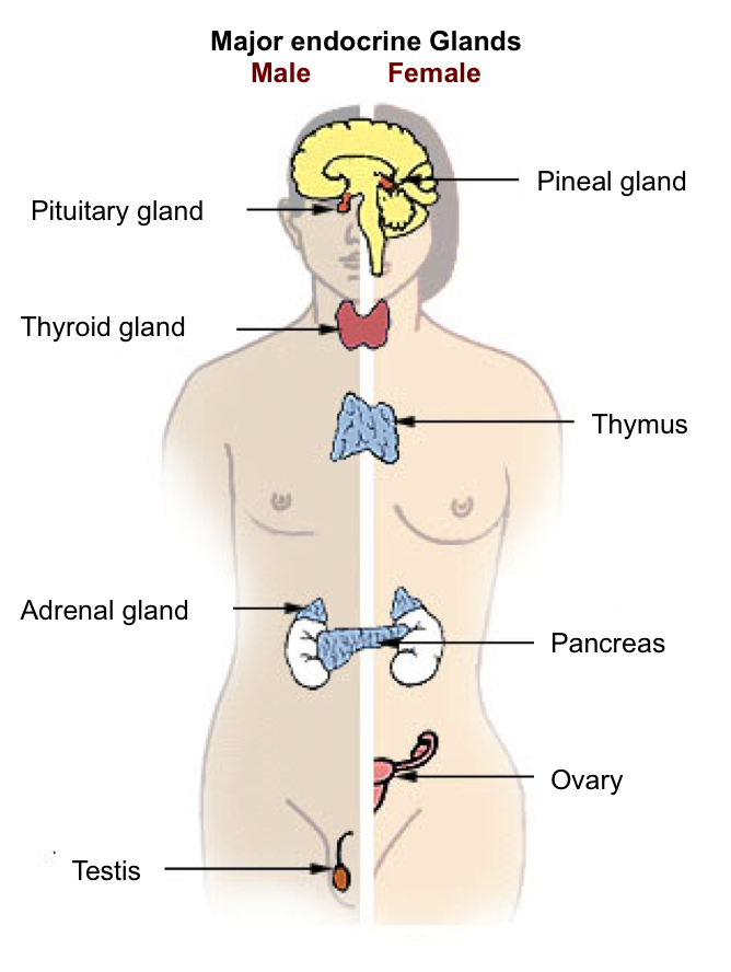 Attractive Endocrine Glands And Their Functions Adornment - Anatomy ...